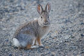 Wild Rabbits May Not Need Your Help