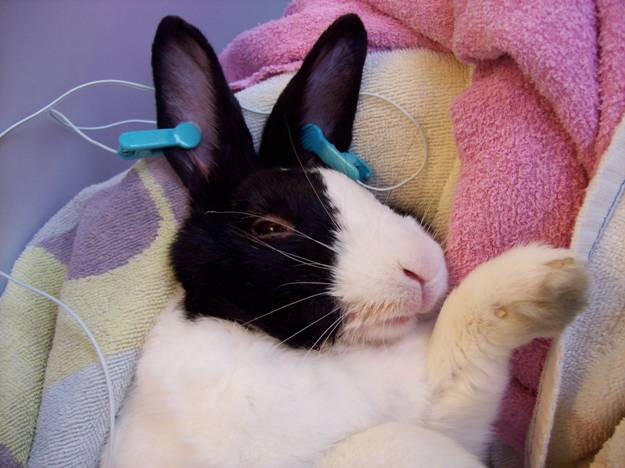Alternative Therapies To Treat Rabbit Pain And