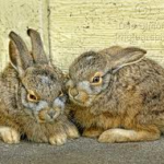 Orphaned Baby Bunnies: Wild and Domestic | House Rabbit Society