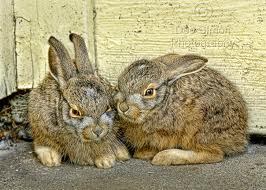 Baby jackrabbits wait like this for mom