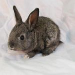 Baby Domestic/Pet Agouti rabbit baby