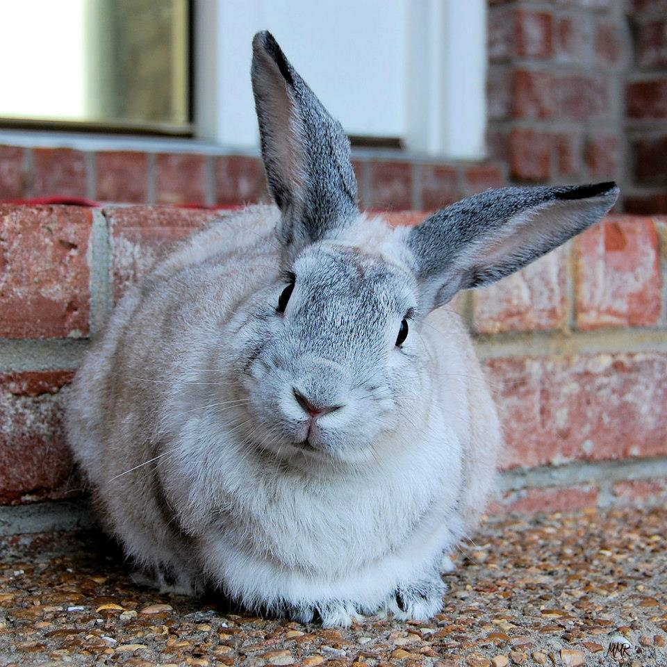 About House Rabbit Society | House Rabbit Society