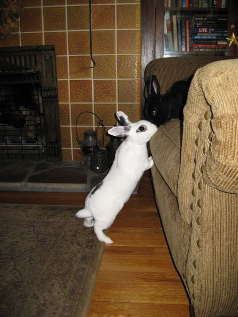 Living With A House Rabbit House Rabbit Society