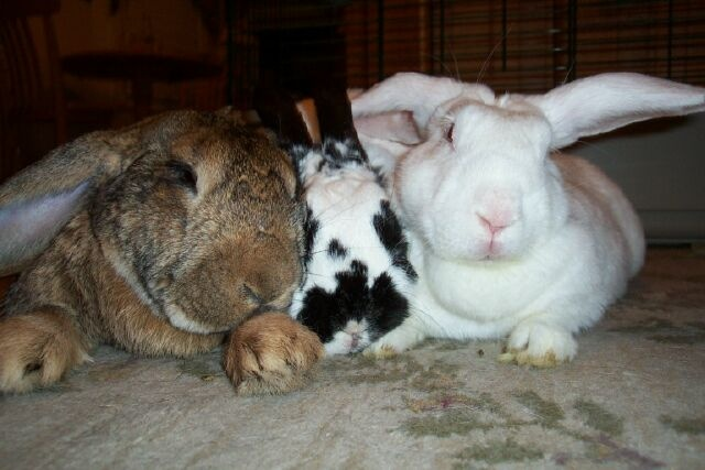 Frequently Asked Questions House Rabbit Society